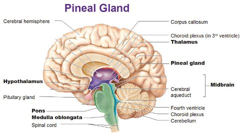 image of the anatomy of the brain concerning the pineal gland for therapy